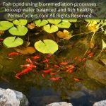 Fish pond using bioremediation processes to keep water balanced and fish healthy